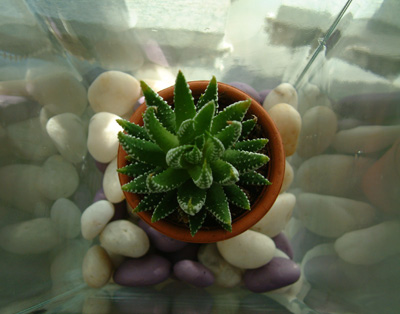 aloe vera and pebbles in glass